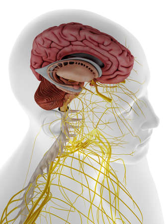 3d rendered medically accurate illustration of the internal brain anatomy