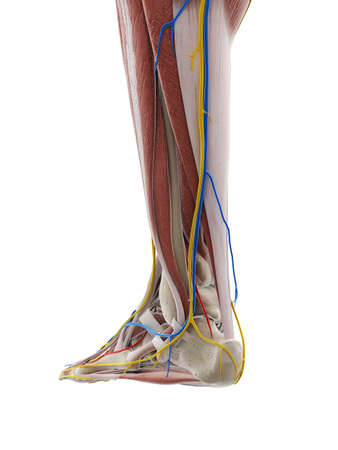 3d rendered medically accurate illustration of the anatomy of the foot