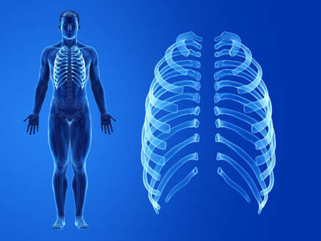 3d rendered medically accurate illustration of the human ribs