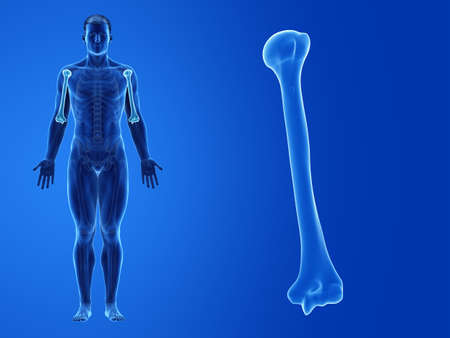 3d rendered medically accurate illustration of the human humerus