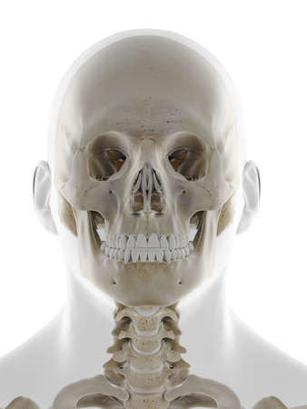 3d rendered medically accurate illustration of the frontal view of the skull Standard-Bild - 133028328