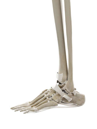3d rendered medically accurate illustration of the ligaments of the foot Imagens