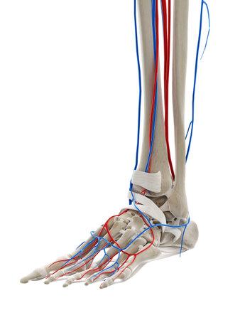 3D-gerenderte medizinisch genaue Darstellung der Blutgefäße des Fußes