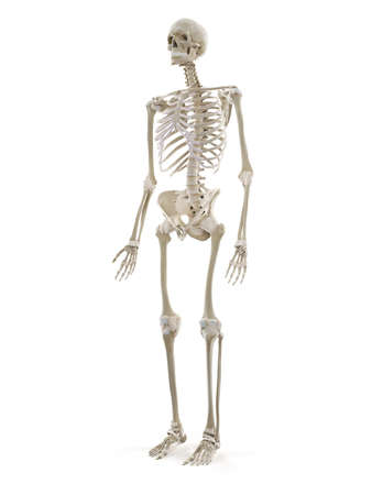3d rendered medically accurate illustration of the human skeleton Standard-Bild - 133028410