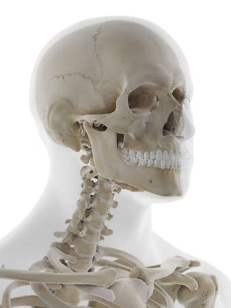3d rendered medically accurate illustration of the anatomy of the skull Standard-Bild - 133028448