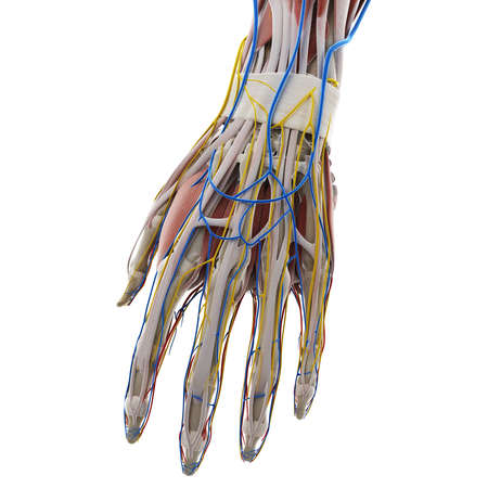 3d rendered medically accurate illustration of the anatomy of the hand Stockfoto