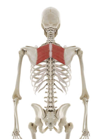 3d rendered medically accurate illustration of the rhomboid major