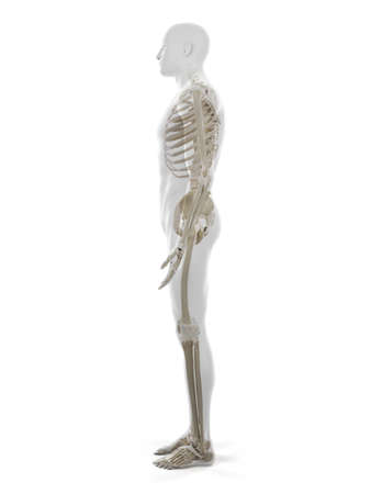 3d rendered medically accurate illustration of the human skeleton Standard-Bild - 133028461