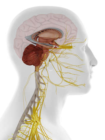 3d rendered medically accurate illustration of a lateral view of the inside brain anatomy Stockfoto