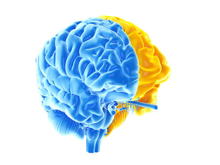 3d rendered medically accurate illustration of the two brain hemispheres Stockfoto