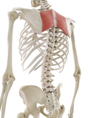 Illustration médicalement précise en rendu 3D du rhomboïde majeur