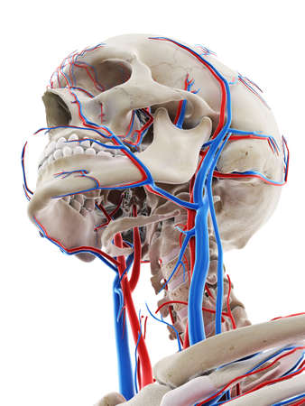 3d rendered medically accurate illustration of the blood vessels of the head