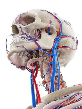 Illustration médicalement précise en rendu 3D des vaisseaux sanguins de la tête