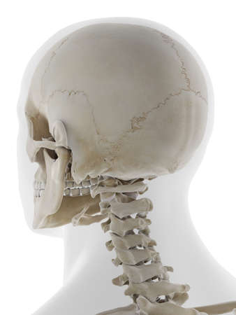 3d rendered medically accurate illustration of the back of the skull Standard-Bild - 133028532