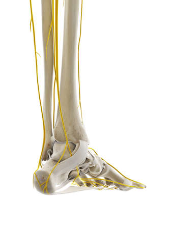 3d rendered medically accurate illustration of the nerves of the foot