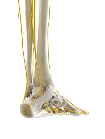 Illustration médicalement précise en rendu 3D des nerfs du pied