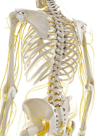 3d rendered medically accurate illustration of the nerves of the back