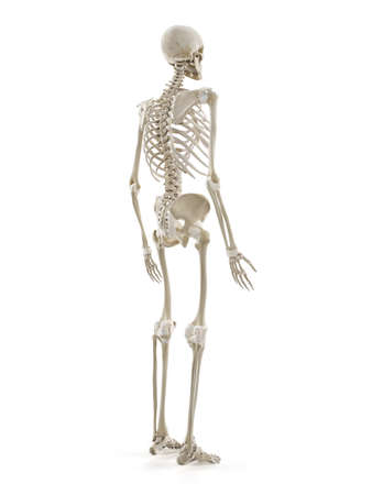 3d rendered medically accurate illustration of the human skeleton Standard-Bild - 133028631