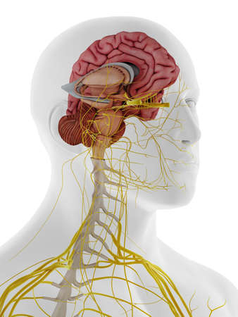 3d rendered medically accurate illustration of the internal anatomy of the brain