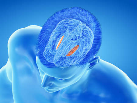 3d rendered medically accurate illustration of the brain anatomy - the lateral globus padillus