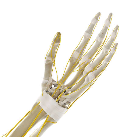 3d rendered medically accurate illustration of the nerves of the hand