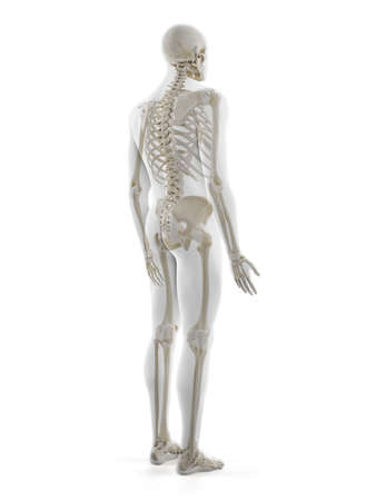 3d rendered medically accurate illustration of the human skeleton Standard-Bild - 133028762
