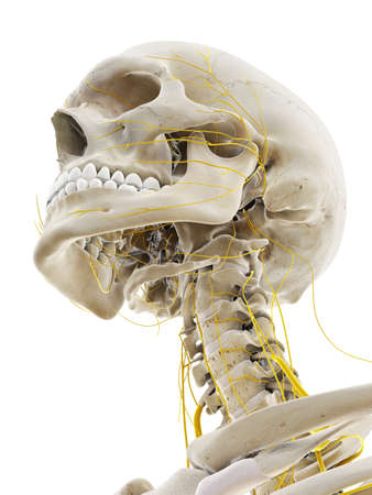 3d rendered medically accurate illustration of the nerves of the head Stockfoto