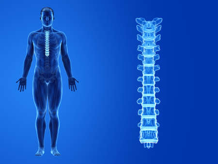 3d rendered medically accurate illustration of the human thoracic spine Standard-Bild - 133028774