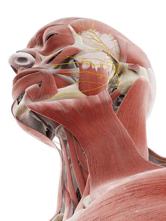 3d rendered medically accurate illustration of the nerves and muscles of the head Stockfoto
