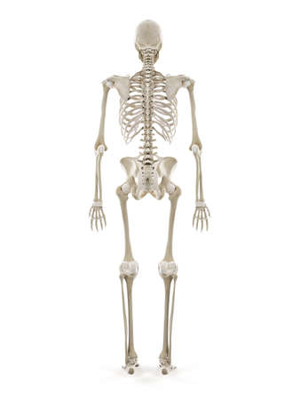 3d rendered medically accurate illustration of the human skeleton Standard-Bild - 133028817