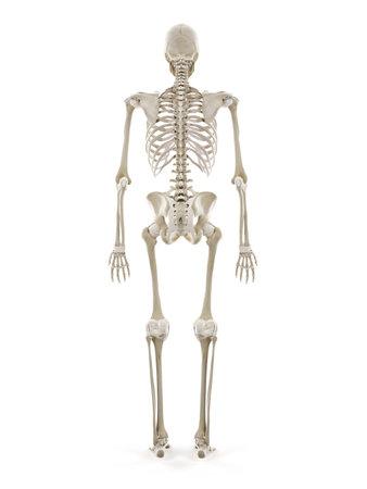 3d rindió la ilustración médicamente exacta del esqueleto humano Foto de archivo