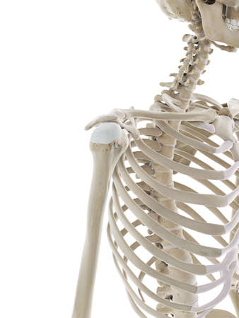 3d rendered medically accurate illustration of the skeletal shoulder