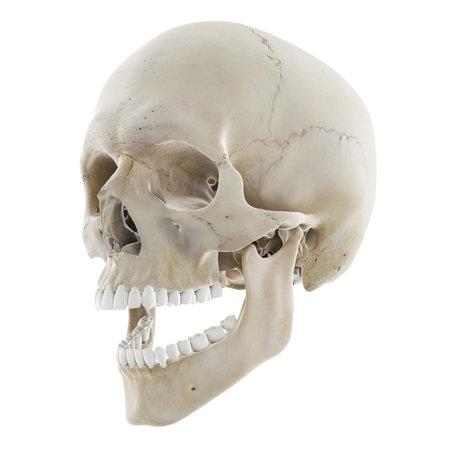 Illustration médicalement précise en rendu 3D du crâne avec mâchoire ouverte