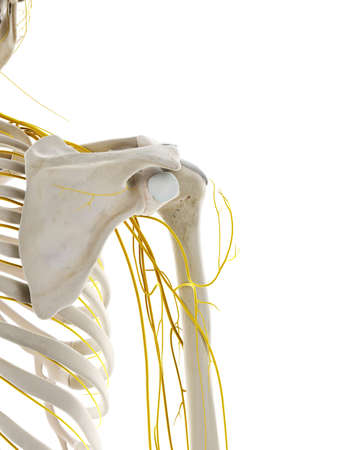 3d rendered medically accurate illustration of the nerves of the shoulder