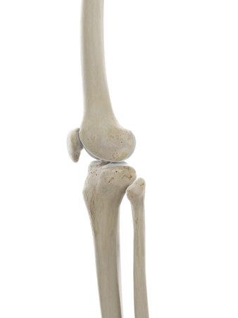 3d rindió la ilustración médicamente exacta del esqueleto de la rodilla