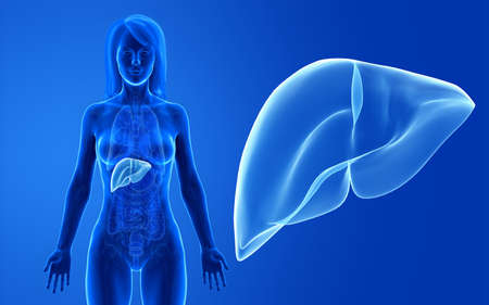 3d rendered medically accurate illustration of the female liver