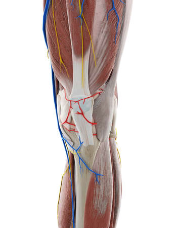 3d rendered medically accurate illustration of the anatomy of the knee