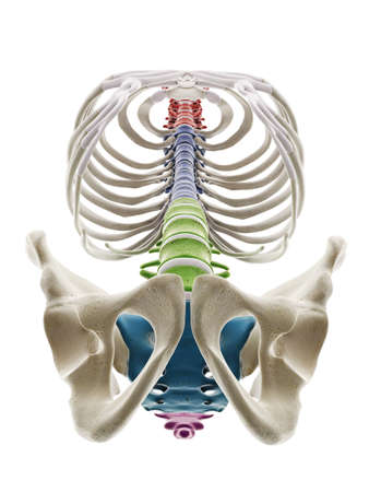 3d rendered medically accurate illustration of the segments of the human spine Standard-Bild - 133028957