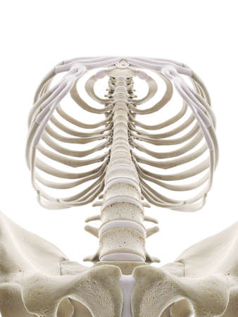 3d rendered medically accurate illustration of the human thorax Standard-Bild - 133029074