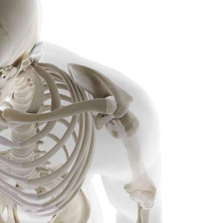 3d gerendert medizinisch genaue Darstellung der Skelettschulter