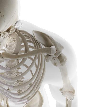 3D rendering illustrazione accurata dal punto di vista medico della spalla scheletrica
