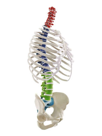 3d rendered medically accurate illustration of the segments of the human spine Standard-Bild - 133029091