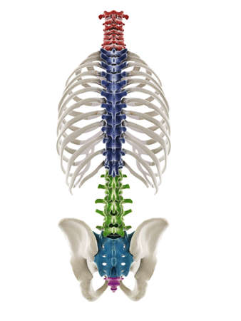 3d rendered medically accurate illustration of the segments of the human spine Standard-Bild - 133029094