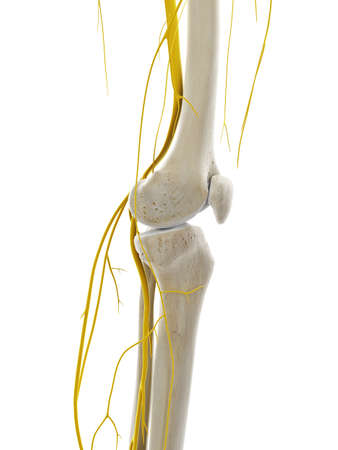 3d rendered medically accurate illustration of the nerves of the knee Stockfoto