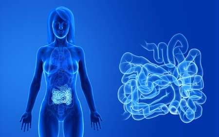 3d rendered medically accurate illustration of the female small intestine