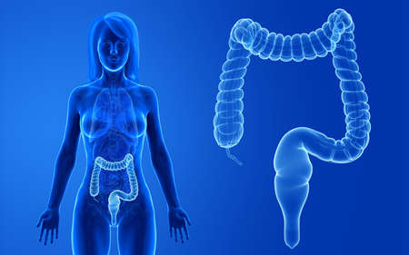 3d rendered medically accurate illustration of the female colon