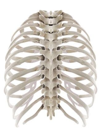 3d rendered medically accurate illustration of the thorax Standard-Bild - 133029293