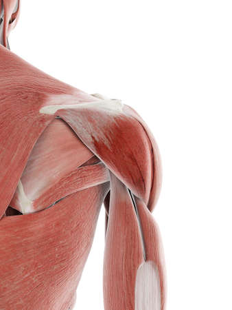 3d rendered medically accurate illustration of the shoulder muscle Banco de Imagens
