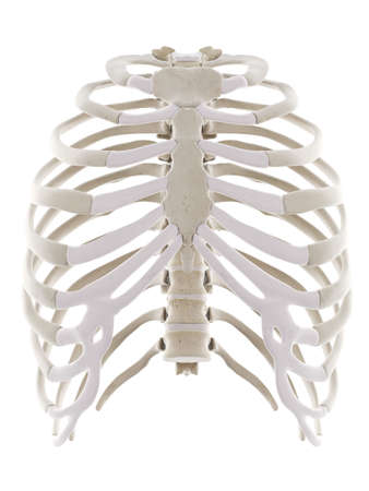 3d rendered medically accurate illustration of the thorax Standard-Bild - 133029299