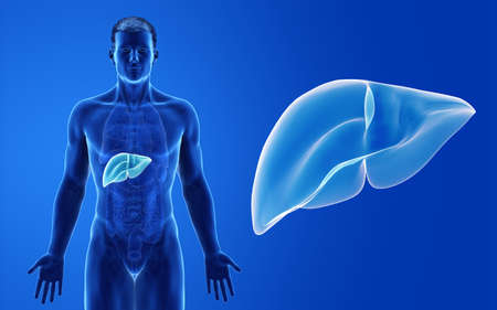 3d rendered medically accurate illustration of the male liver